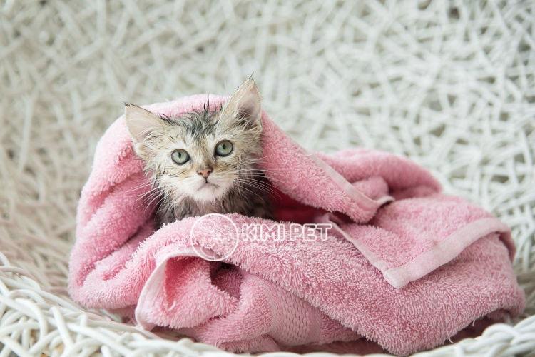 cách tắm cho mèo con